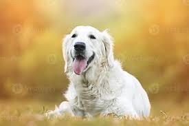 cute fun golden retriever labrador dog ...