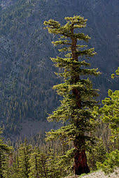 douglas fir pictures. Contemporary Douglas Mature Individual In The Wenatchee Mountains The Coast Douglasfir  In Douglas Fir Pictures N