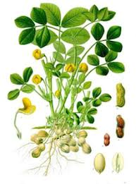 Arachis hypogaea | PeanutBase