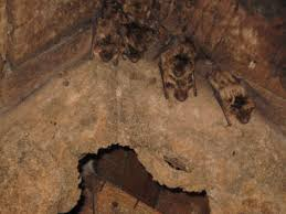 bats typically arrive in may and begin to raise their young in attics in roanoke and surrounding cities when bats inhabit your roanoke virginia attic