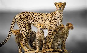2048x1152 2048x1152 cheetah 5k 2048x1152 resolution hd 4k wallpapers images