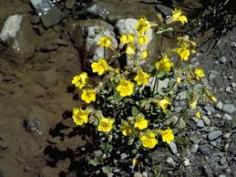 Mimulus guttatus (Yellow monkeyflower)   NPIN