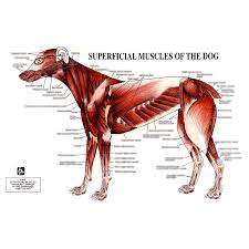 Canine Muscle Chart Petmassage Chart 5 Superficial Muscles Of The Dog Petmassage Training And Research Institute