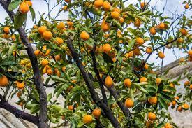 Fruitbearing Tree Of Kumquat Asian Fruit Like A Small Orange Small Orange Fruit On Tree