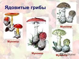 Грибы В Картинках Ядовитые грибы в картинках ядовитые
