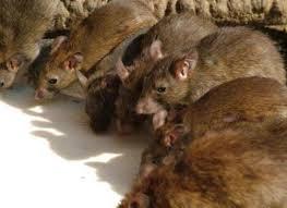 Resultado de imagem para fotos de ratos