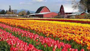 washington state s skagit valley tulip field