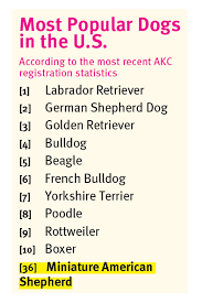 Australian Shepherd Size Chart The Miniature American Shepherd Modern Dog Magazine