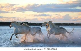 beautiful horses running in water. Brilliant Water White Camargue Horses Are Running Along The Water In A Shallow Lagoon With  Beautiful Evening Light Intended Beautiful Running In Water N