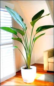 indoor palm trees for tall indoor plants low light large plants for home best indoor