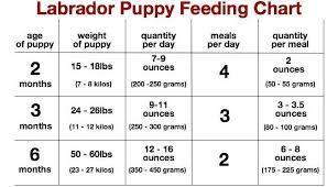 Labrador Retriever Height Chart 29 Explanatory Golden Retriever Height Chart