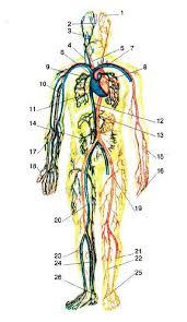 Общее строение и значение системы кровообращения сердце  Рис 58 Кровообращение 1 височная артерия 2 височная вена 3 лицевая вена 4 яремная вена 5 сонная артерия 6 верхняя полая вена 7 аорта