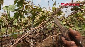 October Pruning Grape Vines