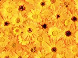 Yellow Flowers Wallpaper Free ...