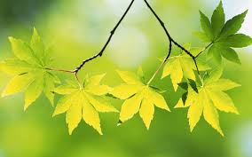 theme. Green Maple Leaf Theme Wallpapers, HD Wallpaper Downloads