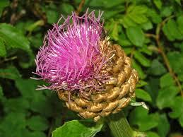 Rhaponticum scariosum - Wikipedia