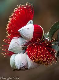 amazingly beautiful flowers rose mallee