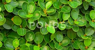 small round leaves of an english banyan hedge in closeup 4k footage clip 73765717