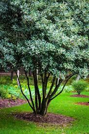 fragrant tea olive osmanthus