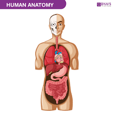 Human Body Parts Chart In English Human Body Anatomy Functions Systems