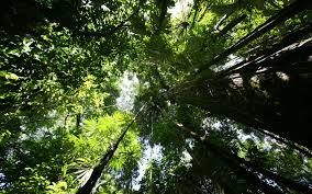 rainforest canopy hd wallpaper
