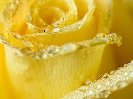 wallpaperyellow rose water drops macro petals rain hd desktop