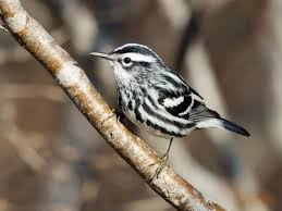 Warbler Identification Chart Black And White Warbler Identification All About Birds