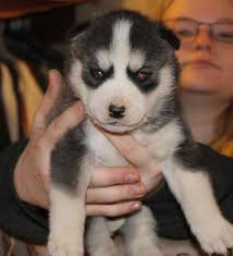 siberian husky dog shipping rates