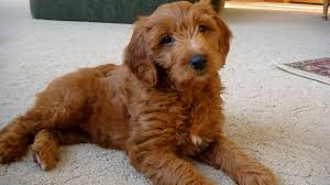 brown puppy goldendoodle golden labrador