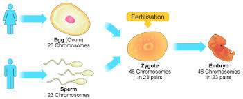 Sexual Reproduction Definition Stages Process Examples