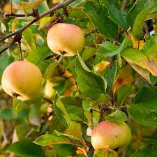 Apple Trees For Sale  Fast Growing TreesMedley Fruit Tree
