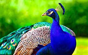 birds wallpaper. Beautiful Birds Beautiful Hd Birds Wallpapers Peacock With Wallpaper O