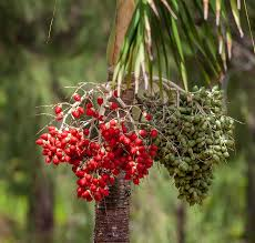 The most common coffee trees are the coffea arabica and coffea robusta.coffee is cultivated primarily in africa, latin america and asia. Wild Coffee Beans Fresh Coffee Coffee Seeds Coffee Plant Wild Coffee Bean Seed Coffee Plant Agriculture Pxfuel