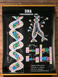 Pair Of Vintage School Chart Depicting Dna And Rna Image 2