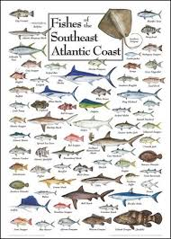 Fishes Of The Southeast Atlantic Coast Saltwater Fish