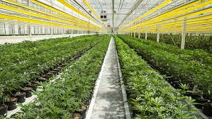 Aphria Chart Aphrias 70 Million Cash Windfall Is A Product Of Its Still