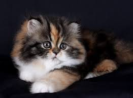 calico kittens for sale. Unique Sale Tabby Calico Persian Kitten Inside Kittens For Sale