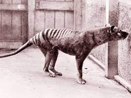 La tigre della Tasmania torna dall'estinzione come al Jurassic Park -  inNaturale
