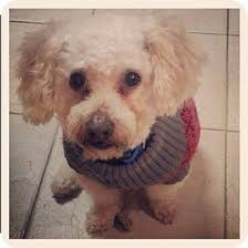 fort worth tx bichon frise poodle toy or tea cup mix meet miles austin a dog for adoption our favorite dogs to adopt bichon poodle mix poodle