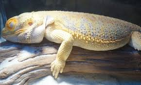 How Big Do Bearded Dragons Get A New Owner Must Read