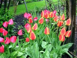 spring bulb garden design tulip garden plans bulb garden designs garden design tulip bulb care growing spring bulb garden design