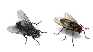 How to Get Rid of House Flies with Cloves Health Tips Fast Home
