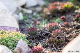 succulents sempervivum or stone rose or hen and en frost resistant plants with red tips in landscape design rock garden desert plant in wild nature