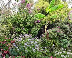 among the plants featured here are lilac e myrtle perennial ageratum conoclinium coelestinum zones 5 10 and dragon leaf nia nia hybrid