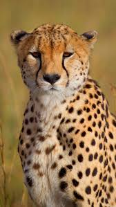 Awesome cheetah wallpaper for desktop, table, and mobile. Cheetah Wallpaper For Phone Cheetah Portrait 1136 640 Cheetah Wallpaper Phone 3016664 Hd Wallpaper Backgrounds Download