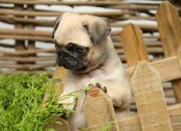 Pug Dog Vaccination Chart Pug Puppy Care How To Take Great Care Of Your Pug Puppy