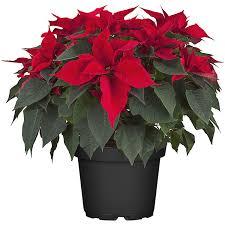 Weihnachtsstern Busch Topf ø Ca 26 Cm Euphorbia