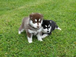 brown and black husky puppies. Beautiful Puppies Female U0026 Male Brown Black  For And Husky Puppies K