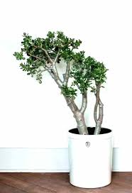 large white indoor plant pots indoor ceramic plant pots large indoor plant pots large jade houseplants large white indoor plant pots