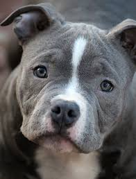 American Bully Health Caring For Your Puppies American